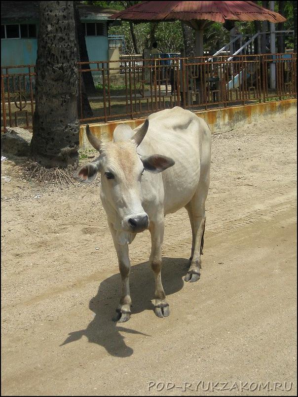 Индийская корова зебу