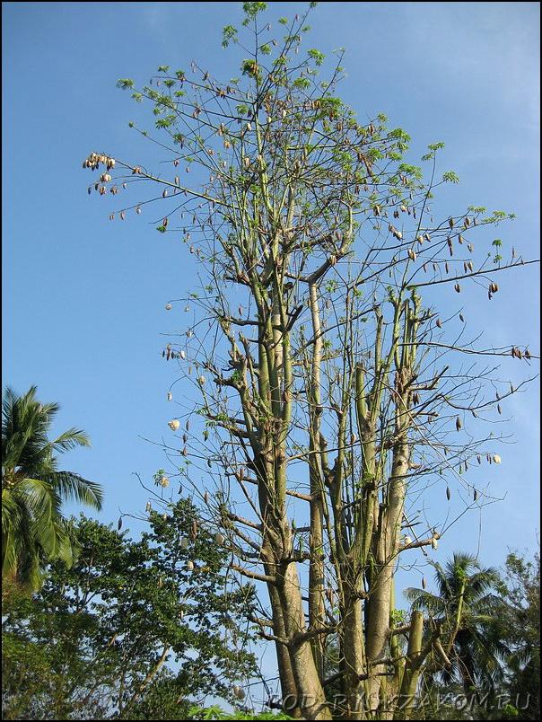 Хлопковое дерево