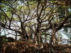 Удивительное дерево баньян