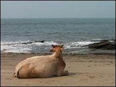 Священная корова — индийская корова зебу